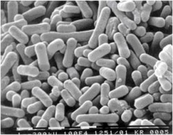 연구진이 개발한 유산균을 전자현미경으로 찍은 사진 - 서울여대 제공